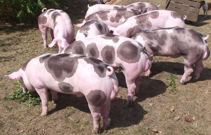 порода свиней Пьетрен на подворье