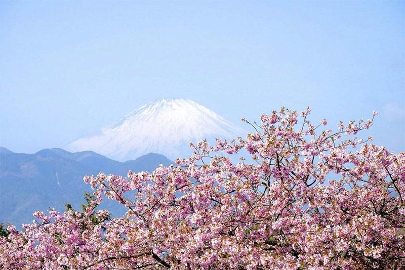 цветет декоративная вишня