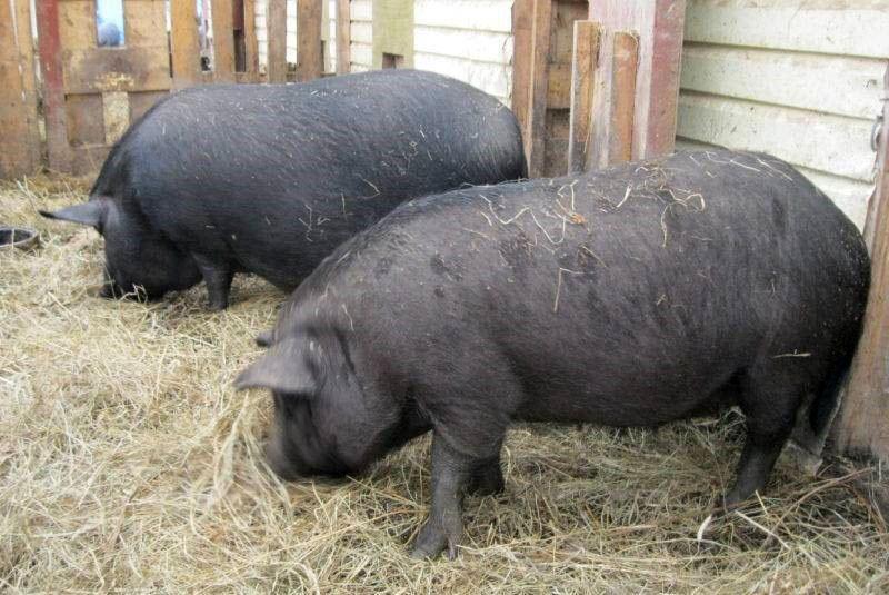 уникальный гибрид свиньи кармалы