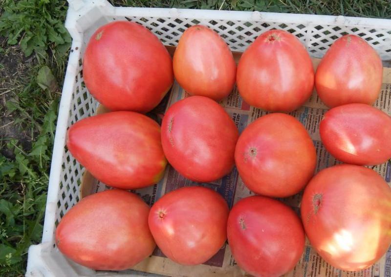 урожай помидор орлиный клюв
