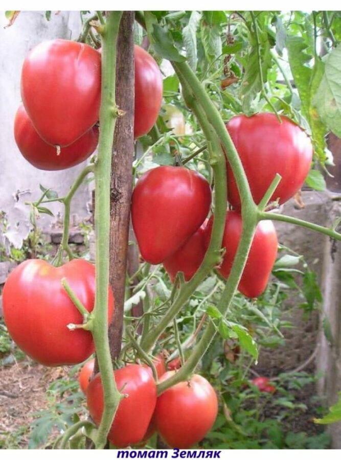 томат земляк