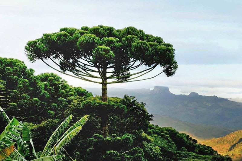 араукария в дикой природе