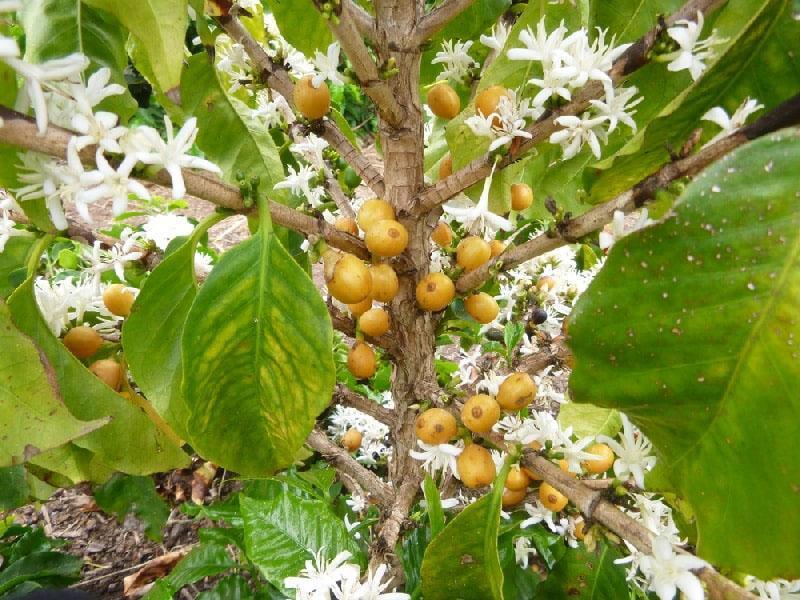 цветет кофейное дерево