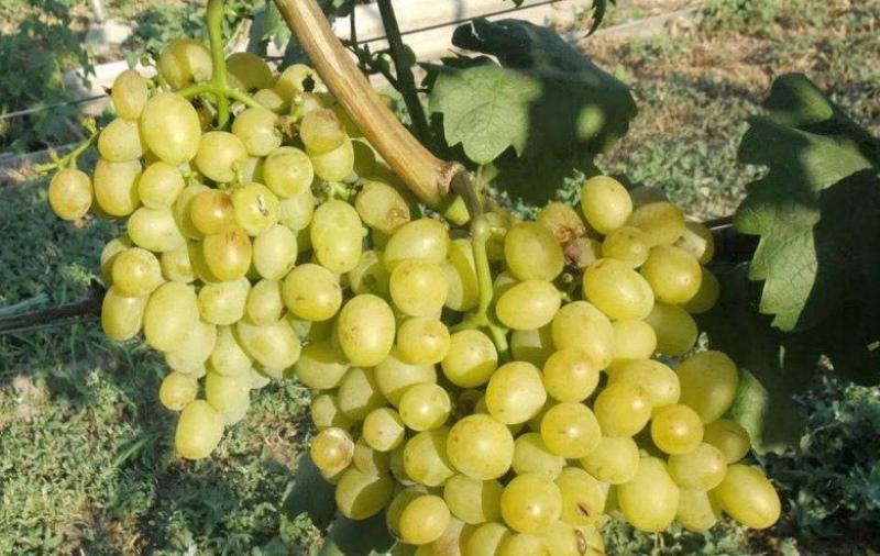 виноград галахад описание сорта