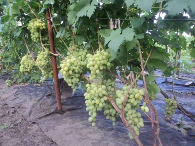 куст винограда галахад