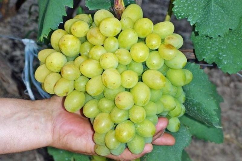 гроздь винограда галахад