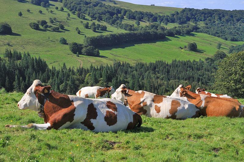 выпас коров