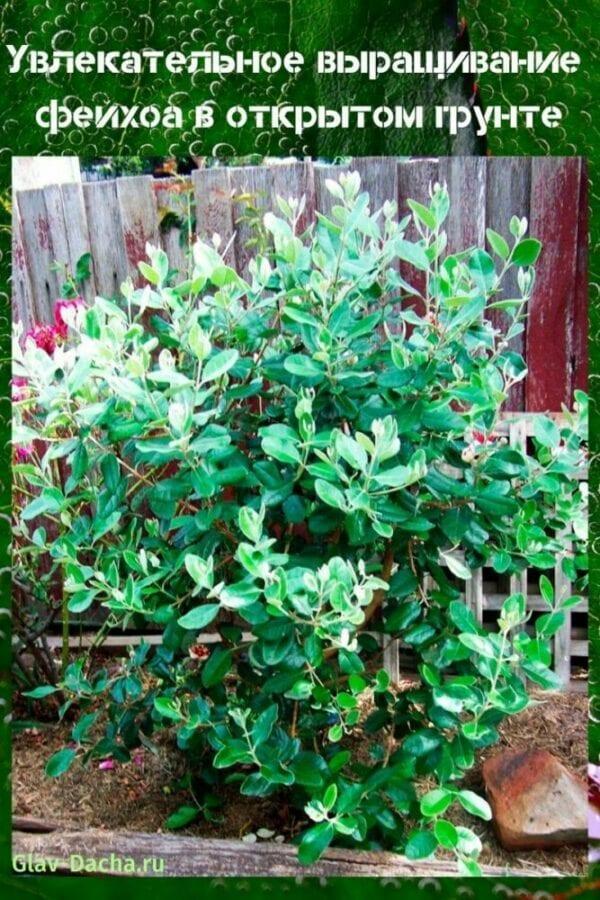 выращивание фейхоа в открытый грунт