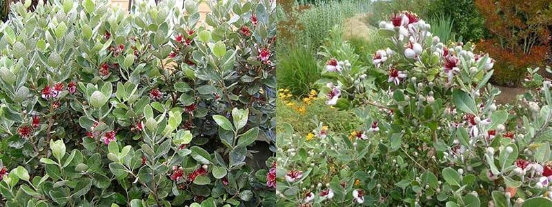цветение фейхоа в открытом грунте