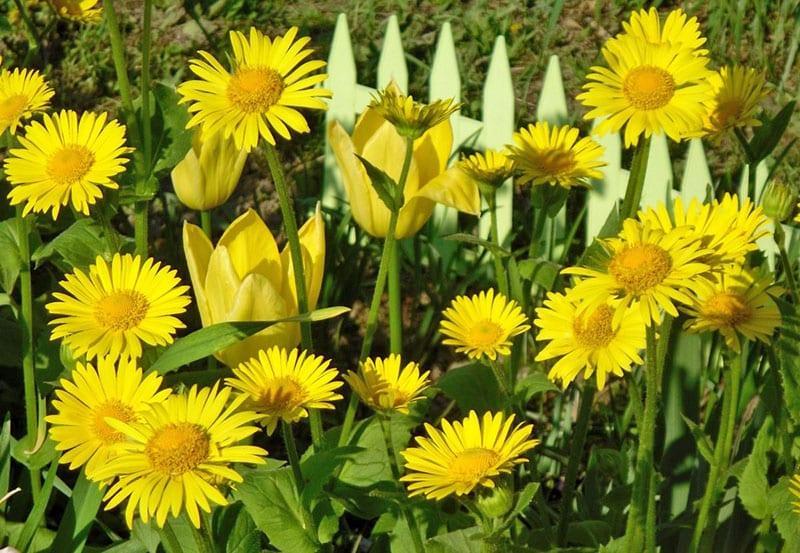 изысканные желтые цветы для сада