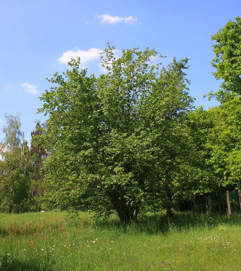 дерево ольха в природе
