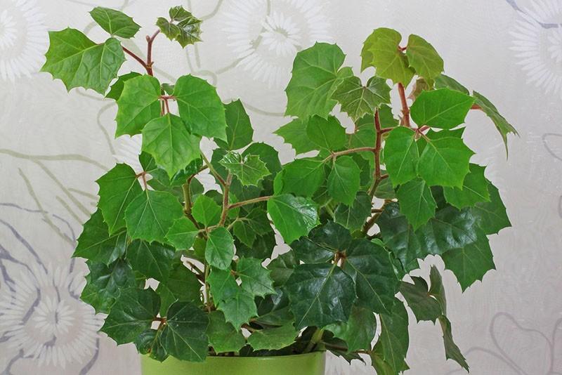 домашний виноград комнатное растение