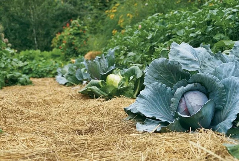 мульчирование овощных грядок