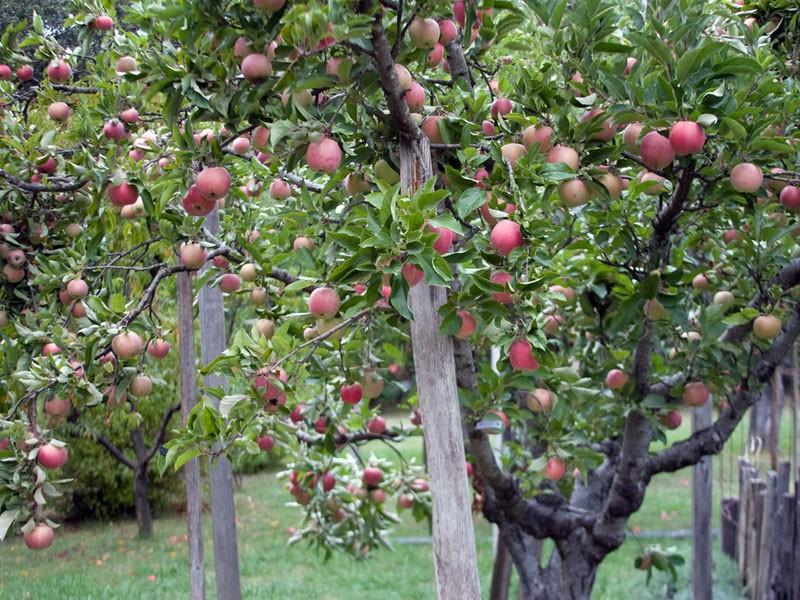 почему яблони плодоносят через год