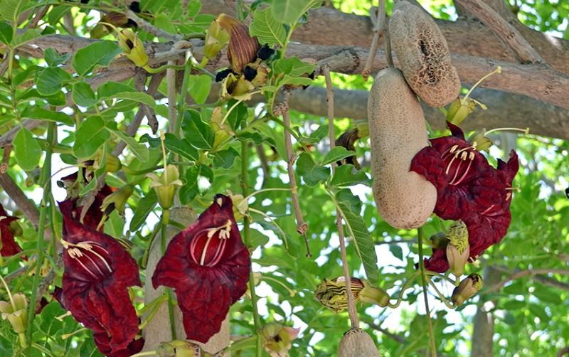 цветение кигелии