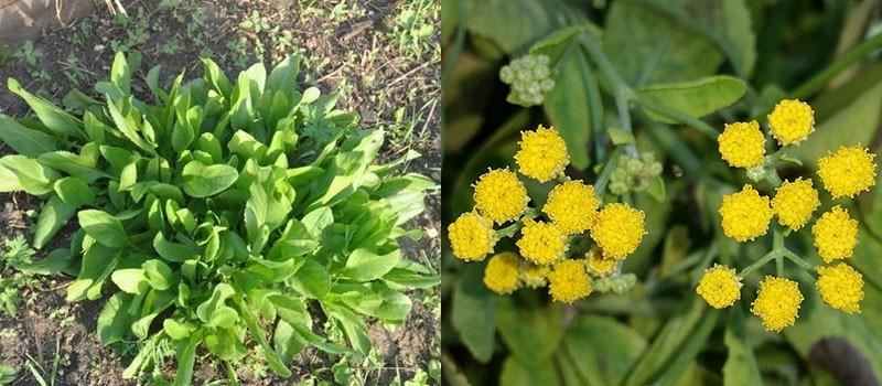 лечебные свойства травы канупер