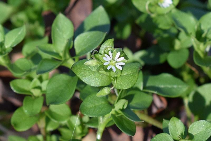 лечебное растение мокрица