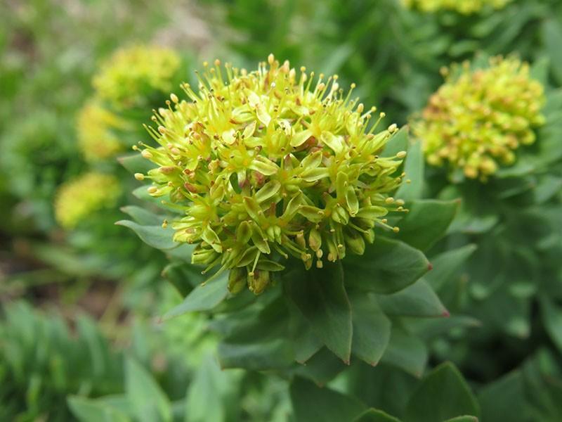 скромный цветок с лечебным корнем