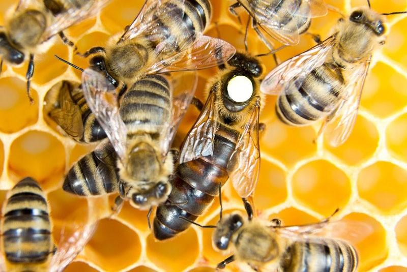 отличаем пчеломатку от простых пчел
