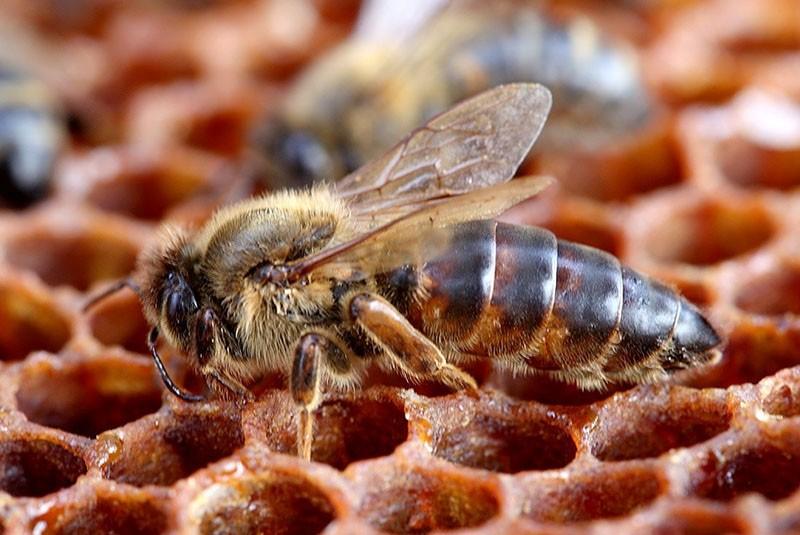пчеломатка