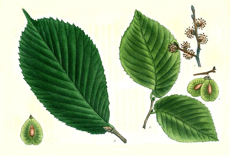 листья вяза и семена