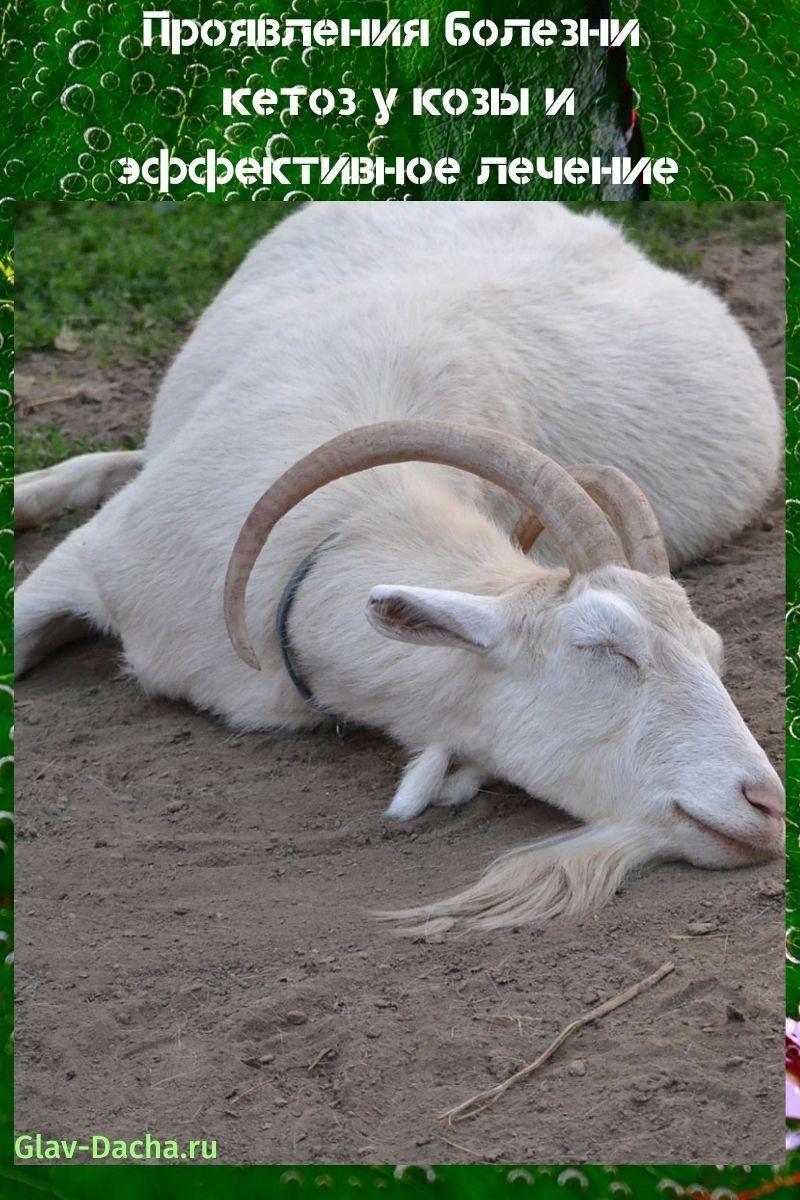 проявления болезни кетоз у козы