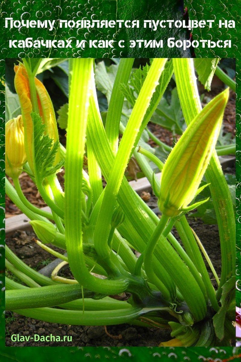 пустоцвет на кабачках