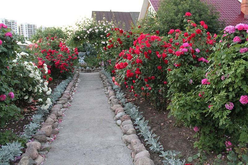 украшение дачного участка розами