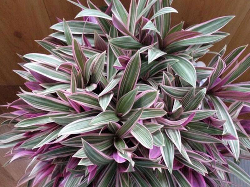 растение семейства коммелиновые