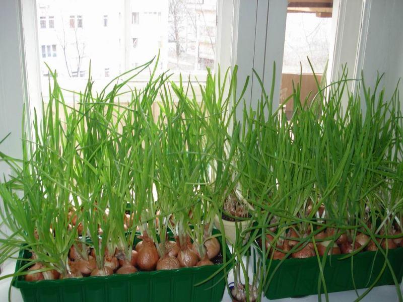 выращивание лука зимой в домашних условиях