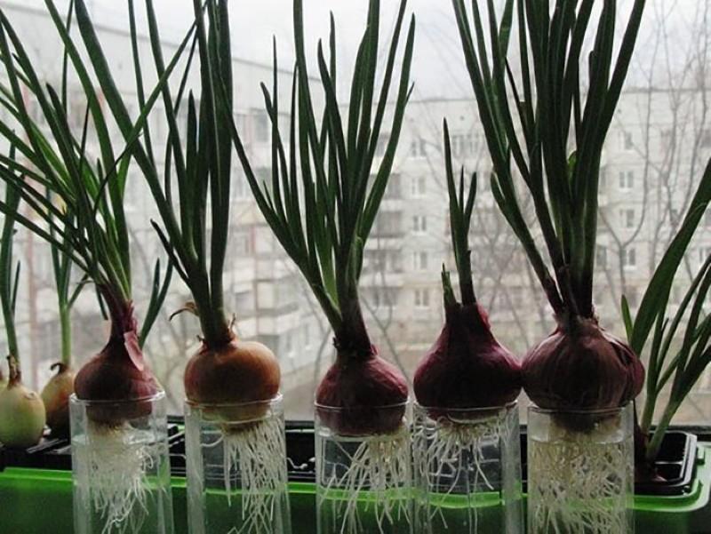 как вырастить лук в воде