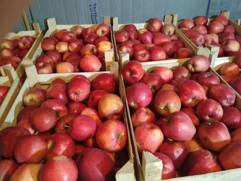 урожай яблони рихард
