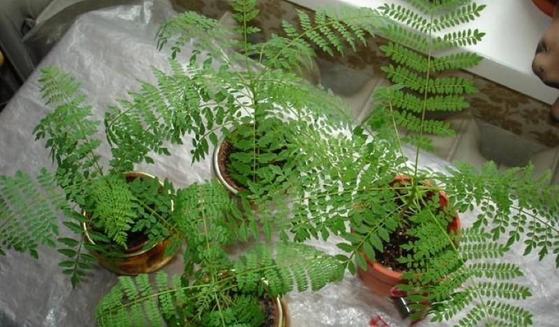 жакаранда выращивание из семян в домашних условиях