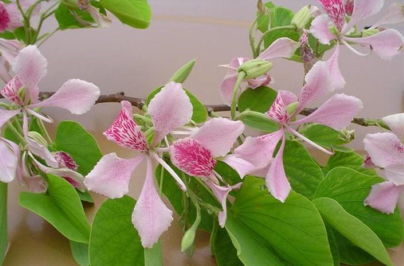 баухиния орхидейное дерево