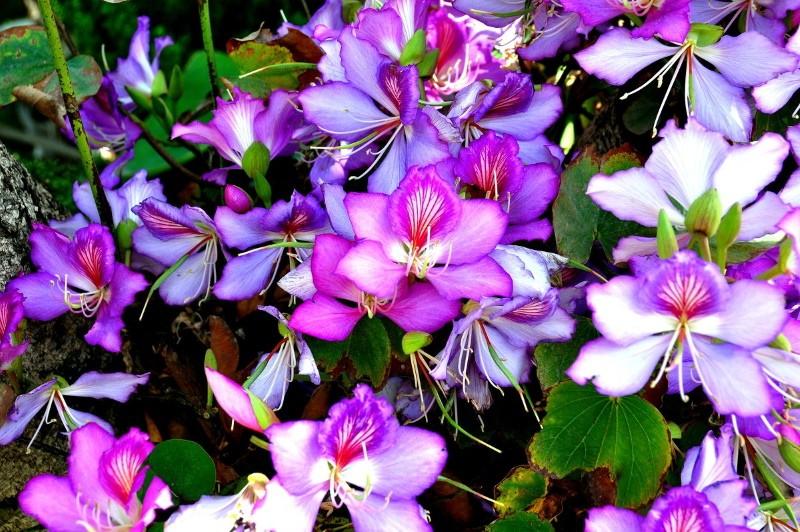 цветение баухинии