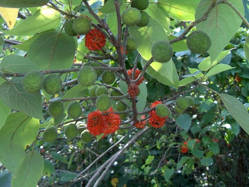 бруссонетия бумажное дерево