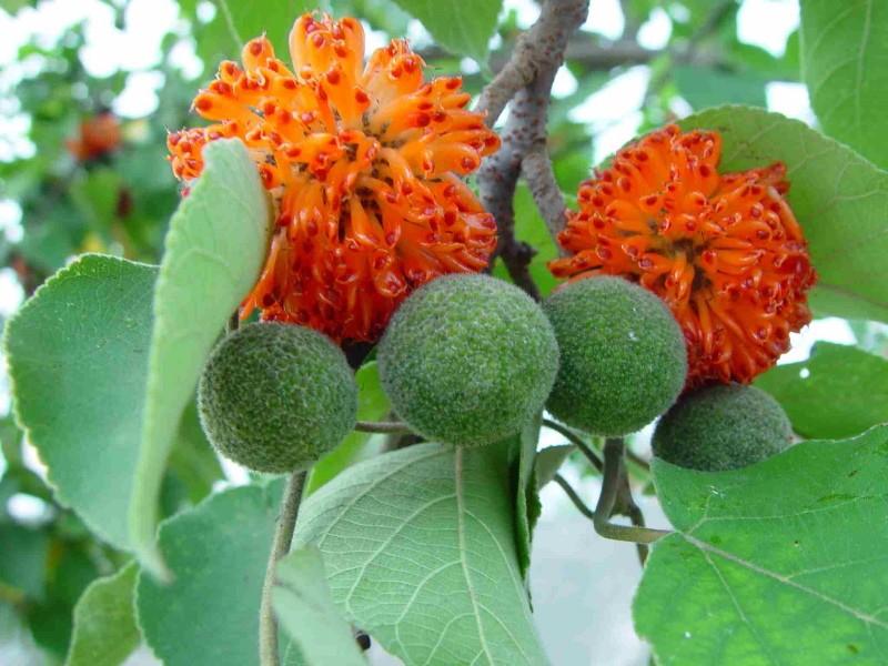 женские цветки бумажного дерева