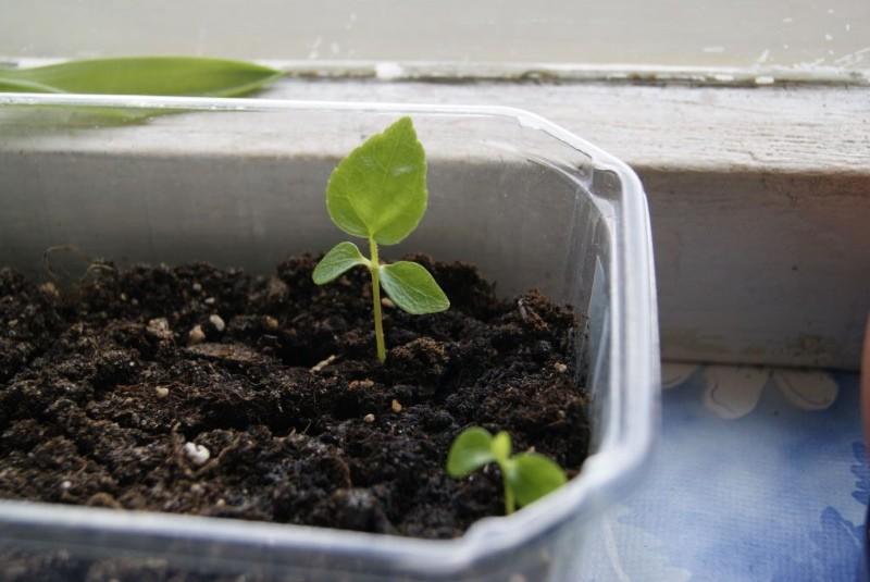 размножение фатсхедеры семенами
