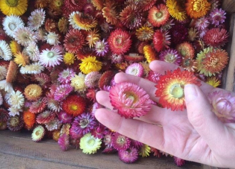 сухоцветы гелихризума