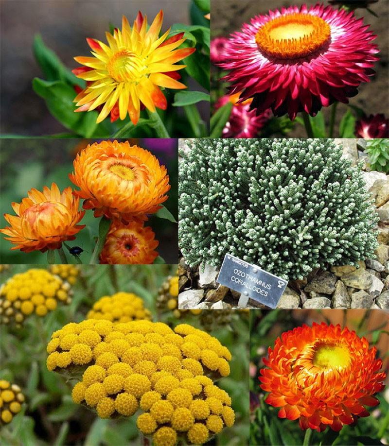 растение из семейства астровых