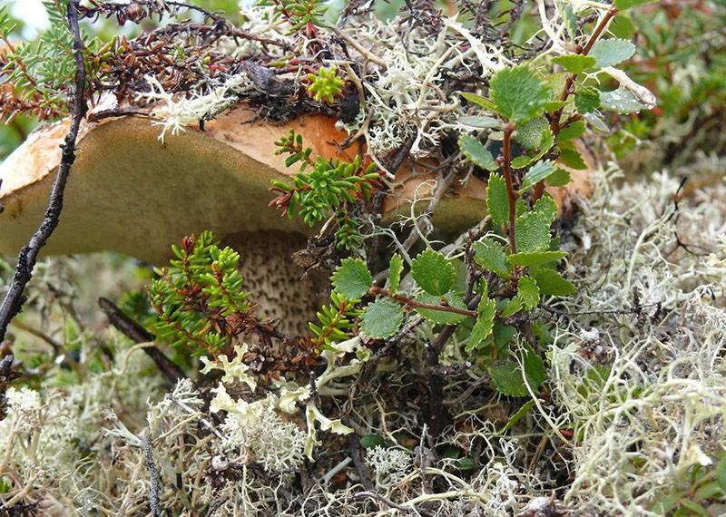карликовая береза в дикой природе
