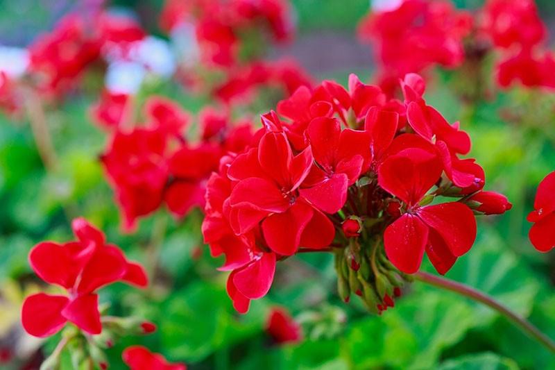 цветет герань