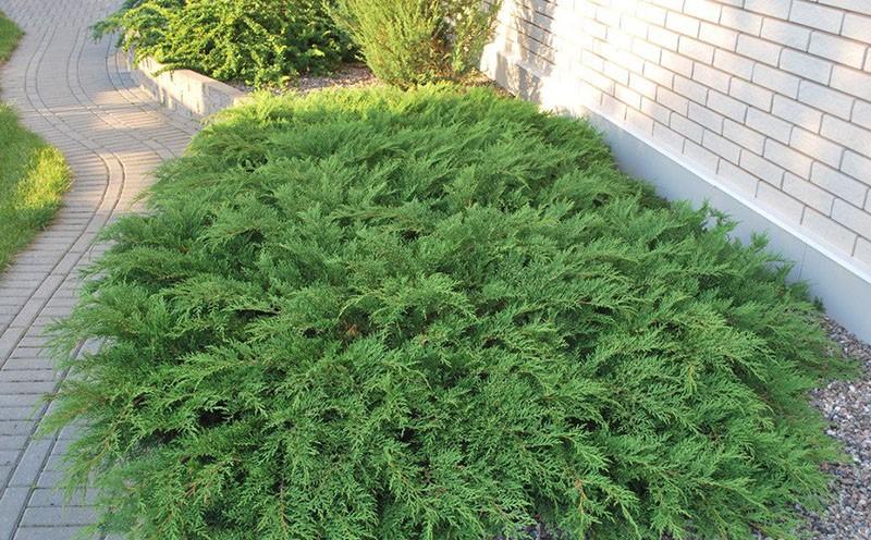 почвопокровное растение