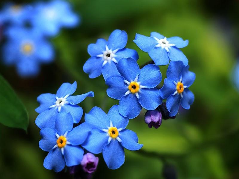 воспетый поэтами цветок