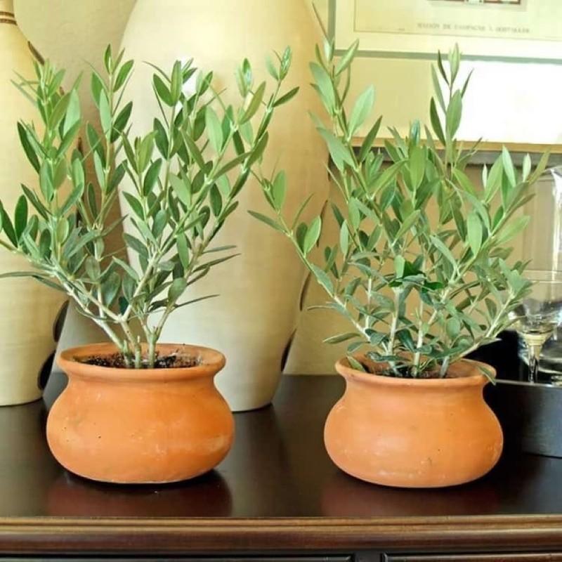 условия содержания оливкового дерева