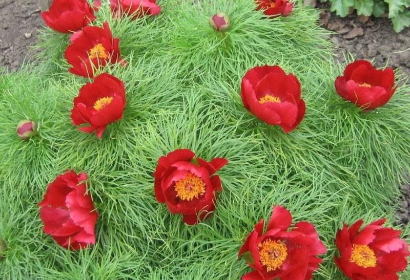 цветы похожие на мак