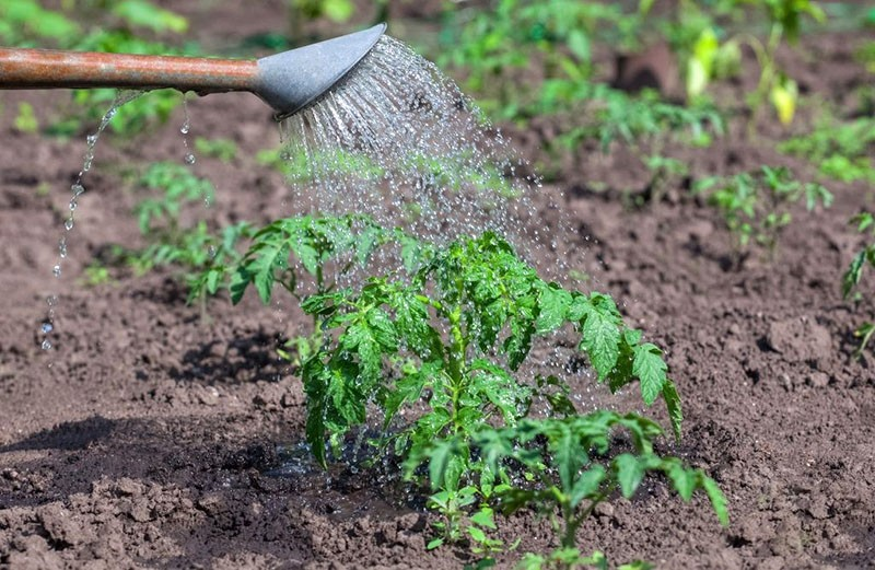 применение перекиси водорода для растения как подкормки
