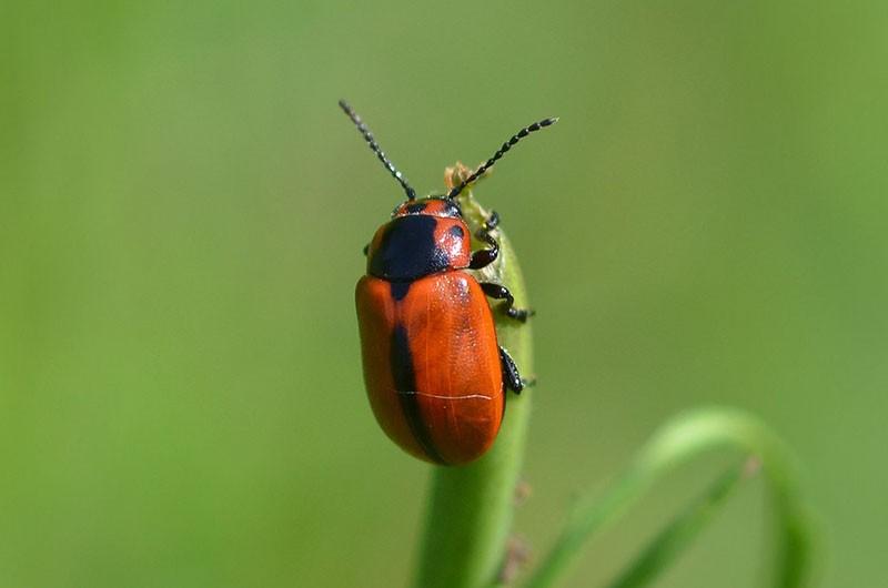рапсовый листоед из отряда жесткокрылых