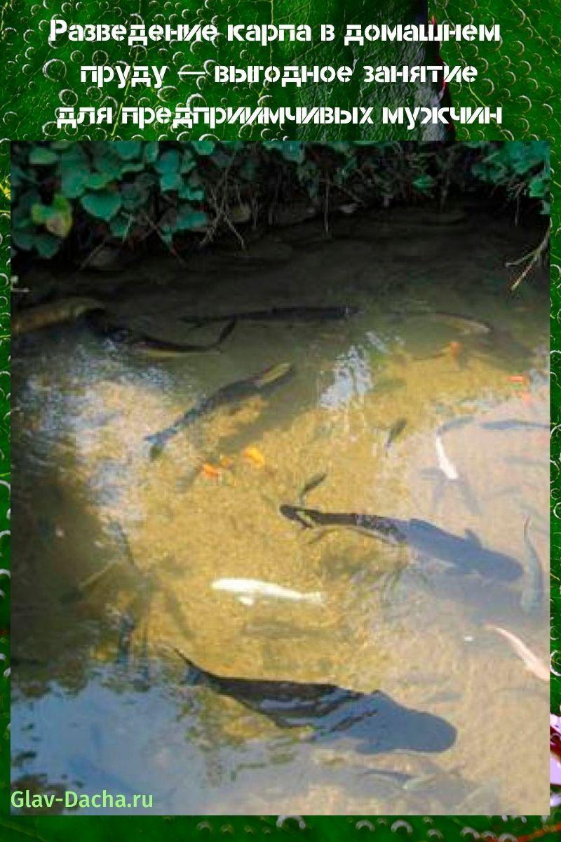 разведение карпа в домашнем пруду