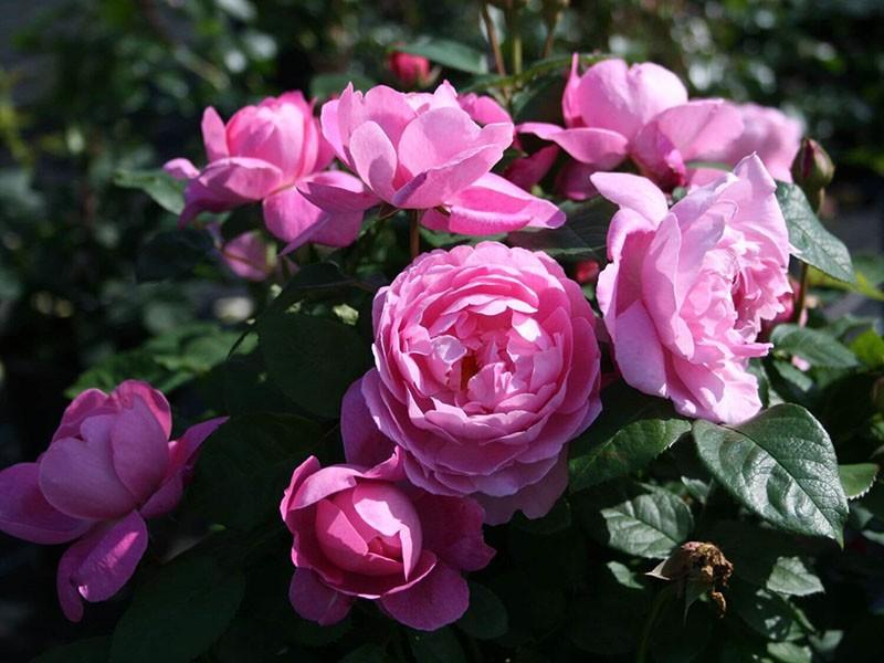 уникальная роза Мэри Роуз